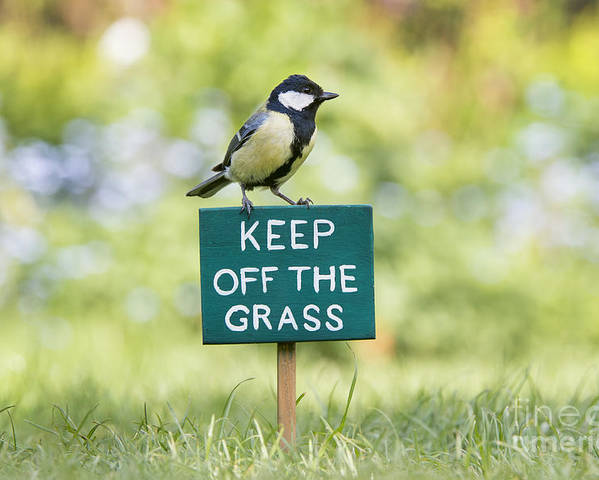 Great Tit Poster featuring the photograph Great Tit On A Keep Off The Grass Sign by Tim Gainey