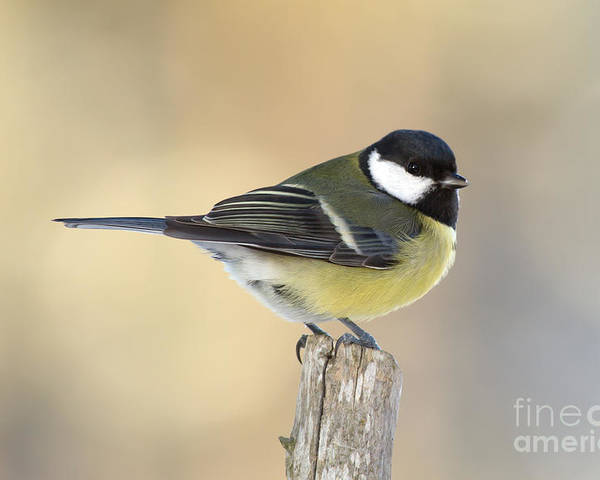 Great Tit Poster featuring the photograph Great Tit by Torbjorn Swenelius