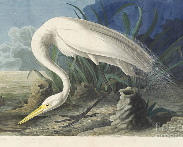 Audubon Poster featuring the drawing Great White Egret by Celestial Images