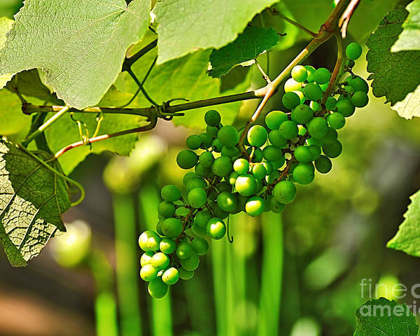 Green Berries Poster featuring the photograph Green Berries by Kaye Menner