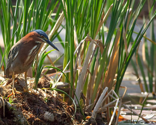 Butorides Virescens Poster featuring the photograph Green Heron Fishing by Kathleen Bishop
