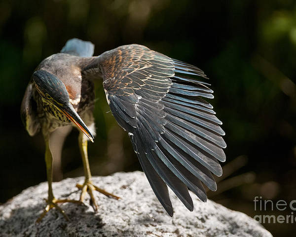 Green Heron Poster featuring the photograph Green Heron Pictures 382 by World Wildlife Photography