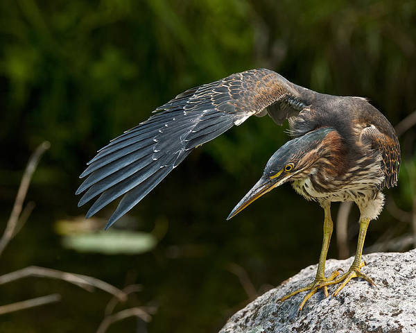 Green Heron Poster featuring the photograph Green Heron Pictures 386 by World Wildlife Photography
