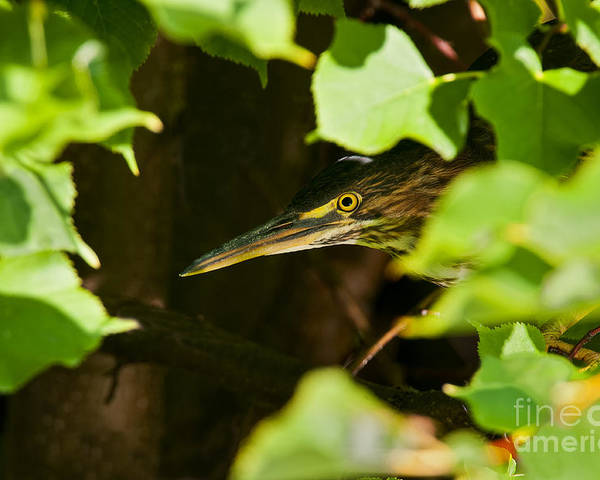 Green Heron Poster featuring the photograph Green Heron Pictures 430 by World Wildlife Photography