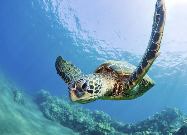 Animal Poster featuring the photograph Green Sea Turtle - Maui by M Swiet Productions