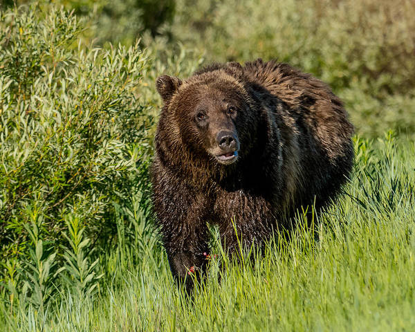 #760 Poster featuring the photograph Grizzly 760 In The Morning by Yeates Photography