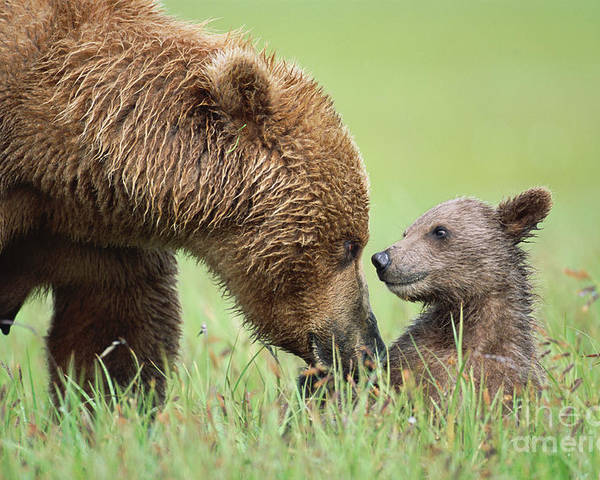 00345260 Poster featuring the photograph Grizzly Bear And Cub in Katmai by Yva Momatiuk John Eastcott