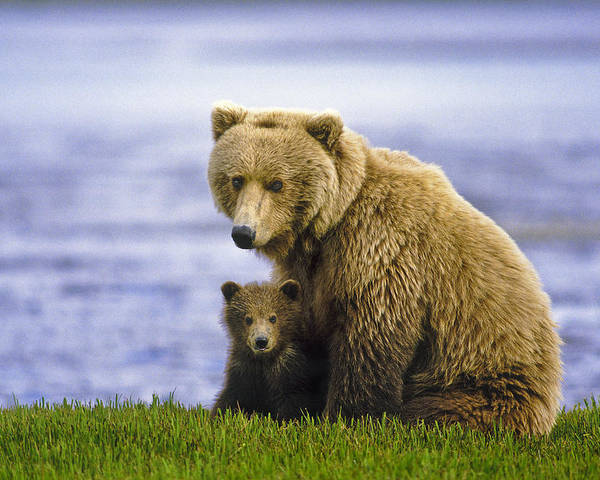 Alakan Brown Bear With Cub Poster featuring the photograph Grizzly Bear And Cub by Boyd Norton
