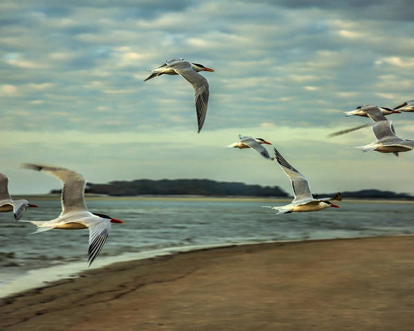 Tybee Island Poster featuring the photograph Gulls In Flight by Diana Powell
