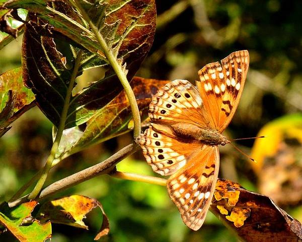 Landscape Poster featuring the photograph Hackberry Emperor Butterfly by Marilyn Burton