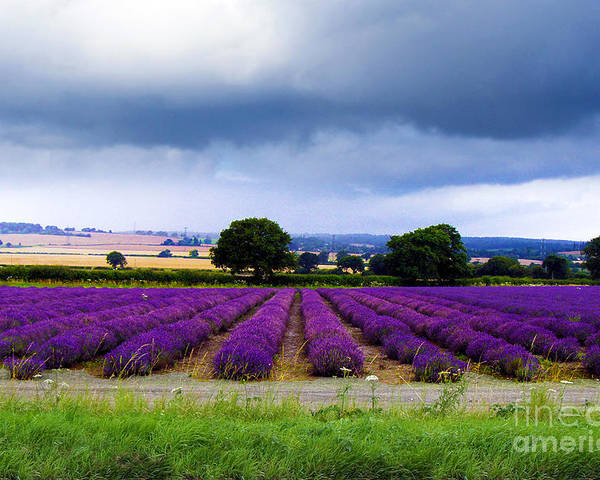 Lavender Field Poster featuring the photograph Hampshire Lavender Field by Terri Waters