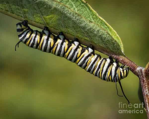 Caterpillar Poster featuring the photograph Hanging Around by Claudia Kuhn