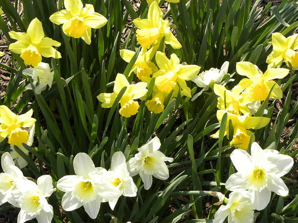 Daffodils Poster featuring the photograph Happy Daffodils by Cim Paddock
