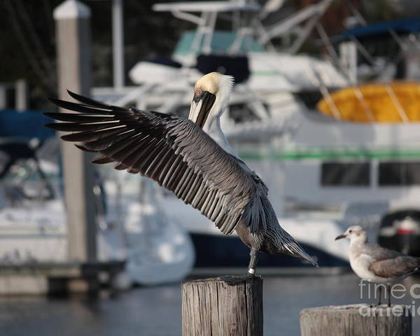 Birds Poster featuring the photograph Harbor Pelican And Gull by Carol Groenen