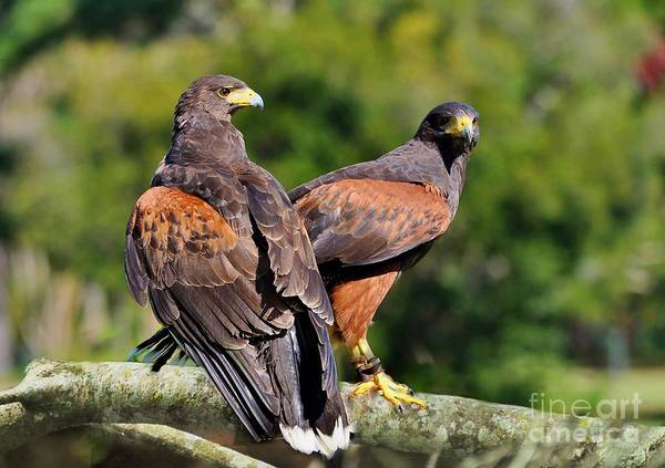 Birds Poster featuring the photograph Harris Hawk Pair by Kathy Baccari