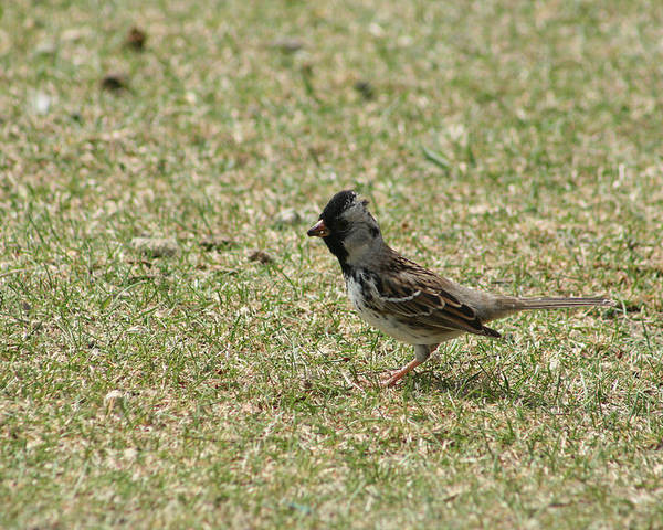 Harris Sparrow Poster featuring the photograph Harris Sparrow On Grass by Robert Hamm