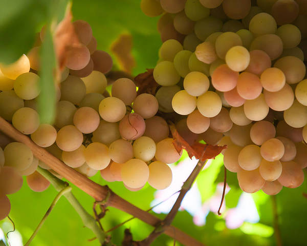 Grape Poster featuring the photograph Harvest Time. Sunny Grapes II by Jenny Rainbow