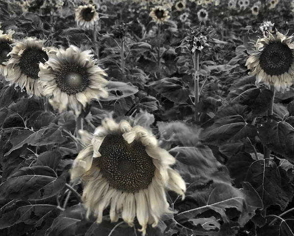 Black Poster featuring the photograph Haunting Sunflower Fields 2 by Dave Dilli