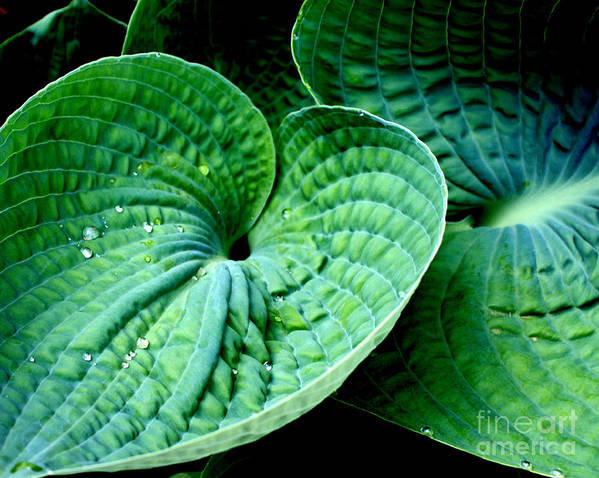 Hosta Poster featuring the photograph Have A Heart by Valerie Fuqua