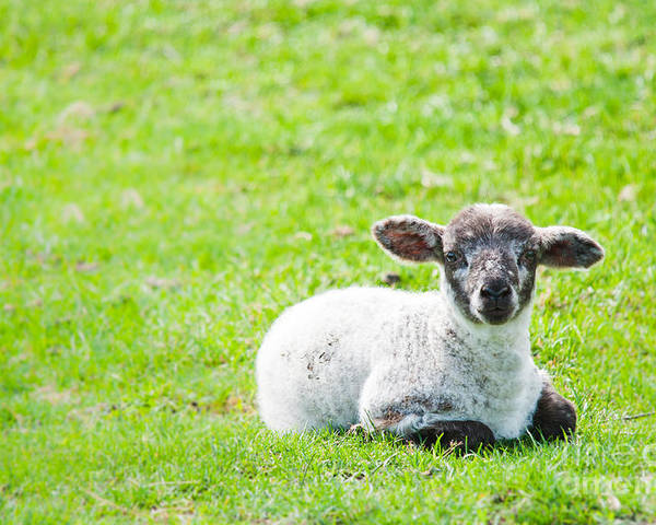 Sheep Poster featuring the photograph Have You Any Wool by Cheryl Baxter