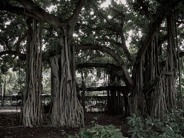 Banyan Poster featuring the photograph Hawaiian Banyan Trees by Daniel Hagerman