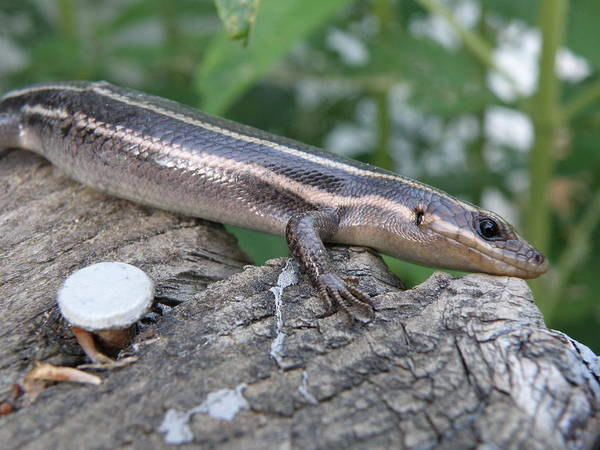 Lizard Poster featuring the photograph Hello Skink by Tina Camacho