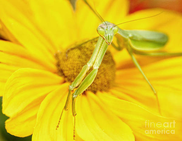 Praying Mantis Poster featuring the photograph Hello There by Claudia Kuhn