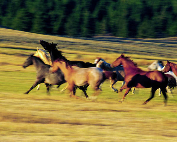 Photography Poster featuring the photograph Herd Of Horses Running, Oregon, United by Animal Images