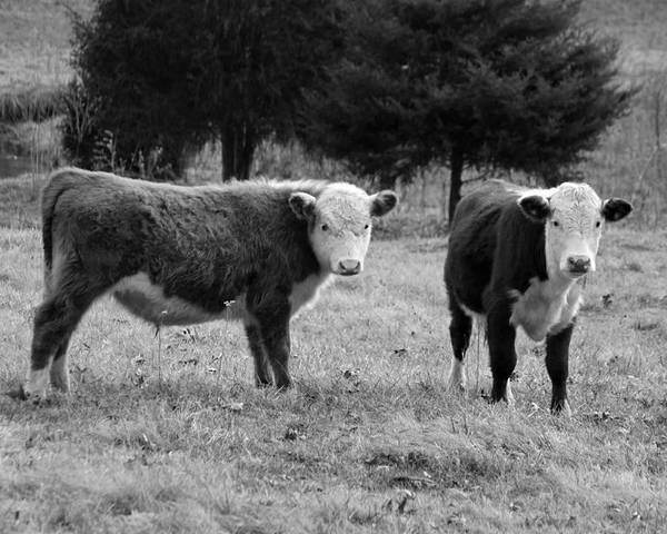Black And White Poster featuring the photograph Hereford Portrait V In Black And White by Suzanne Gaff
