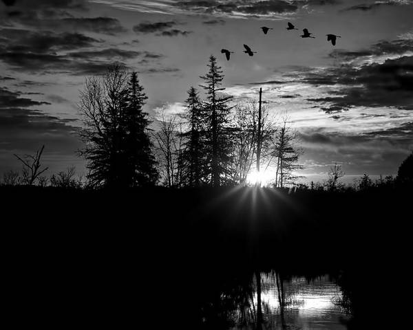 Northern Maine Poster featuring the photograph Herons In Flight - Black And White by Gary Smith