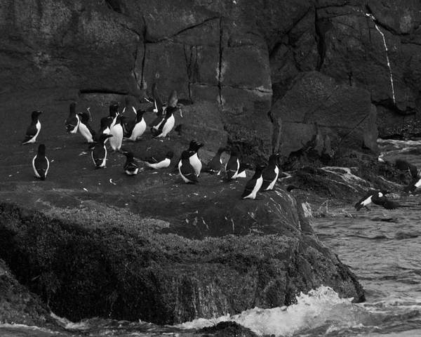 Razorbill Poster featuring the photograph Hey All An Auk by Daniel Hebard
