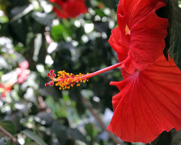 Red Poster featuring the photograph Hibiscus 2685 by Carolyn Stagger Cokley