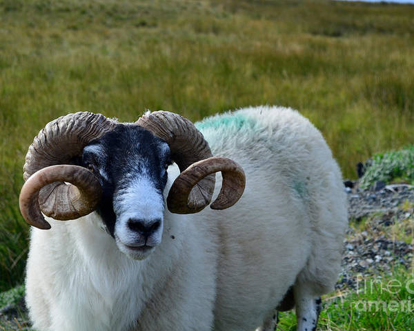 Sheep Poster featuring the photograph Highland Sheep by DejaVu Designs