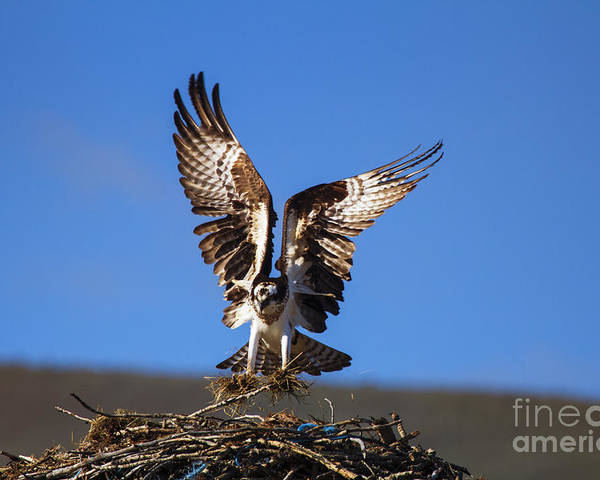 Osprey Poster featuring the photograph Homebuilder by Mike Dawson