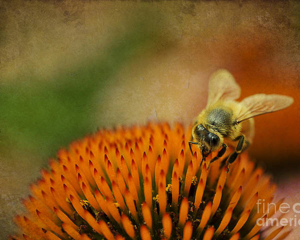Bee Poster featuring the photograph Honey Bee On Flower by Dan Friend