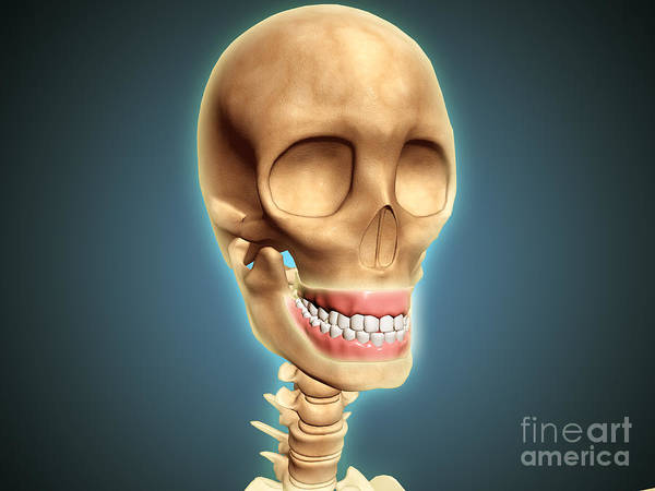 Oral Hygiene Poster featuring the digital art Human Skeleton Showing Teeth And Gums by Stocktrek Images