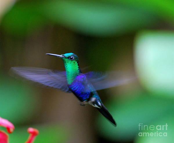 Ecuador Poster featuring the photograph Humminbird In Flight  by Fabian Romero Davila