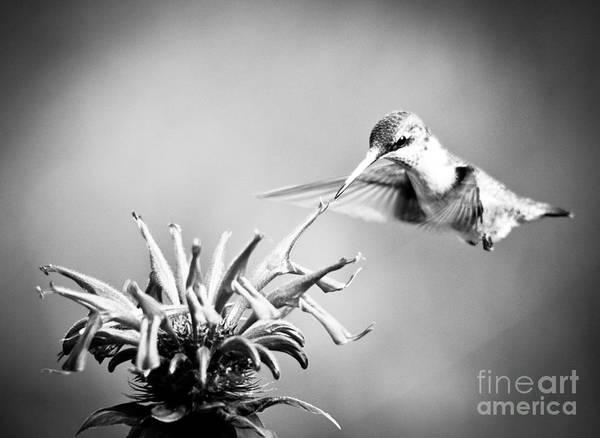 Black And White Poster featuring the photograph Hummingbird Black And White by Cheryl Baxter