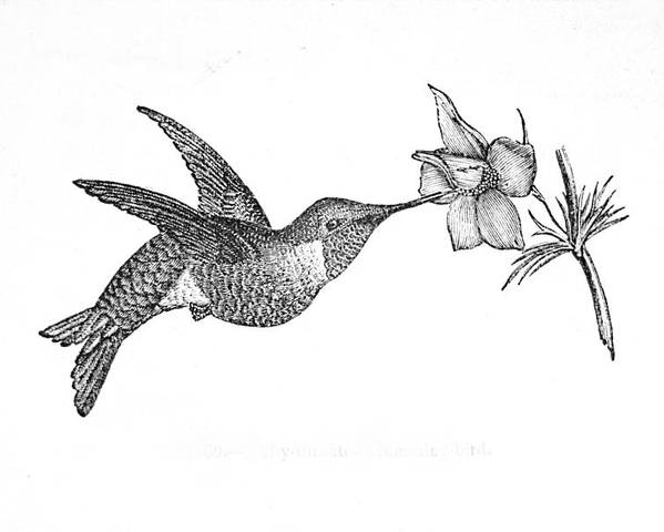 Bird Poster featuring the drawing Humming Bird by Michael Dohnalek