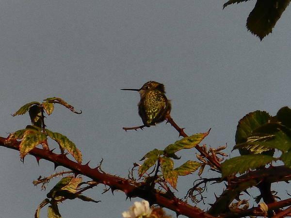Hummingbird Poster featuring the photograph Hummingbird Atop Blackberry Bushes by Karen Molenaar Terrell