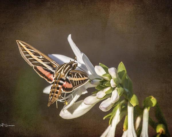 Hummingbird Moth Poster featuring the photograph Hummingbird Moth by Jeff Swanson