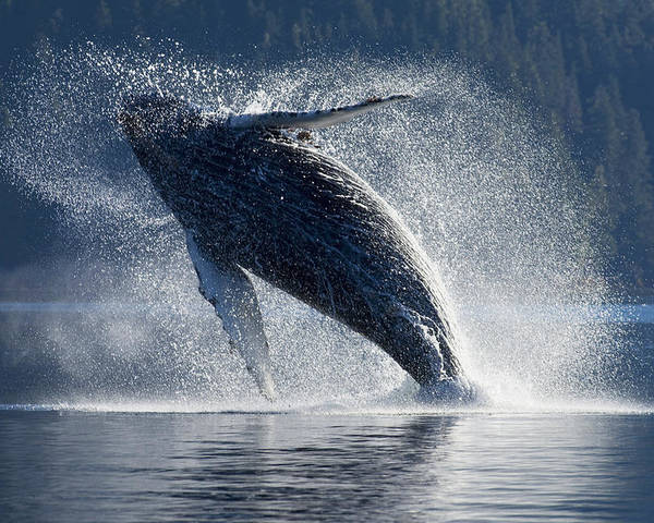 Hyde Poster featuring the photograph Humpback Whale Breaching In The Waters by John Hyde