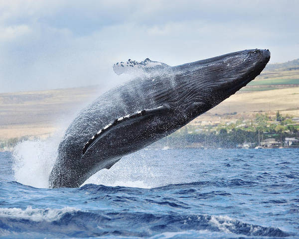 Above Poster featuring the photograph Humpback Whale by M Swiet Productions