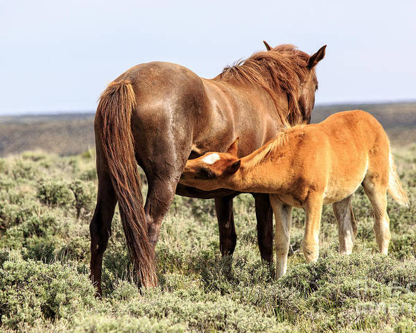 White Mountain Wild Horses Poster featuring the photograph I Am Hungry Momma by Rodney Cammauf