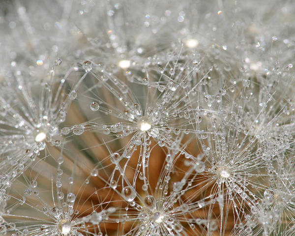 Dandelion Poster featuring the photograph I Might've Gone To Seed But I Still Know How To Party by Peggy Collins