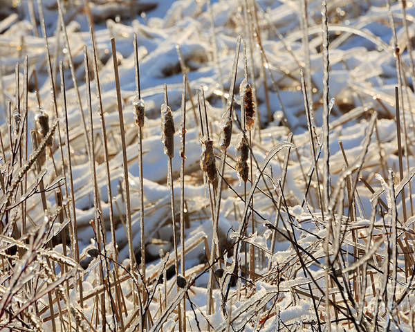 Ice Poster featuring the photograph Ice Coated Bullrushes by Louise Heusinkveld