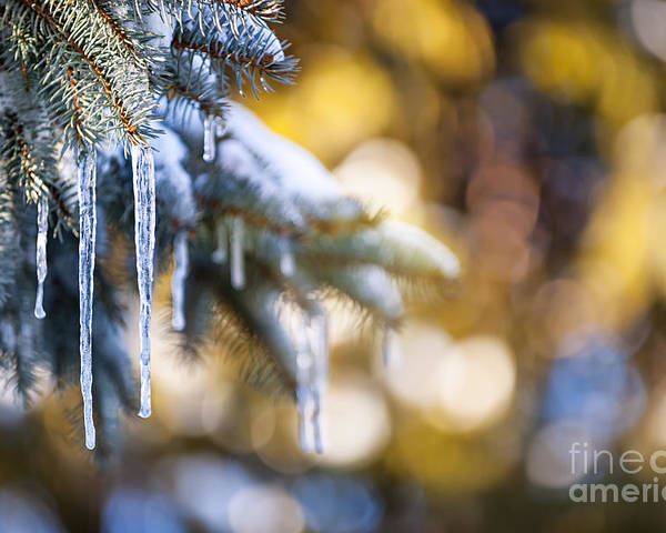 Icicles Poster featuring the photograph Icicles On Fir Tree In Winter by Elena Elisseeva