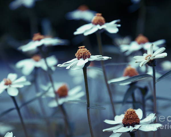 Daisies Poster featuring the photograph Imagine F03a by Variance Collections
