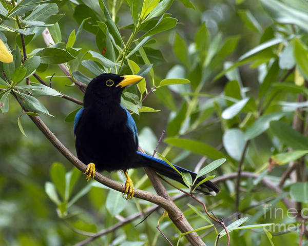 Bird Poster featuring the photograph Immature Yucatan Jay by Teresa Zieba
