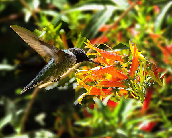 Hummingbird Poster featuring the photograph In Flight Dining by Richard Henne
